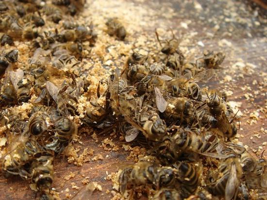Польза пчелиного подмора