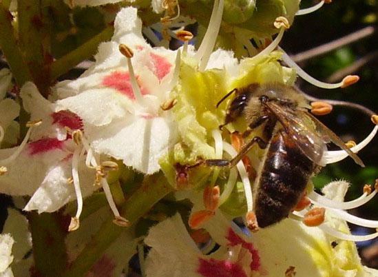 Целебные свойства цветков каштана