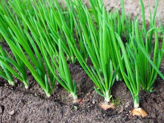 Полезные свойства зеленого лука: что лучше - вершки или корешки?