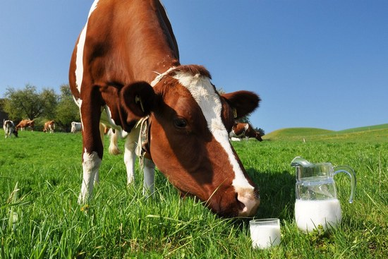 Чем полезно коровье молоко?