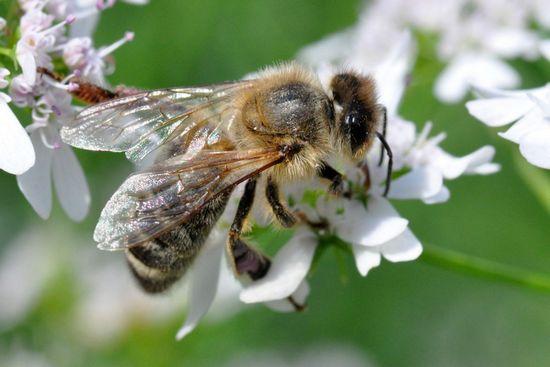 Мед из цветков кориандра: польза и вред
