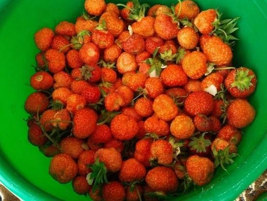 Клубничные плоды тщательно перебираем