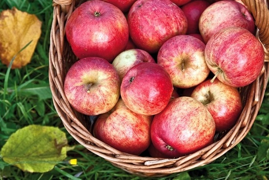 Собираем нужное количество зрелых яблочных плодов