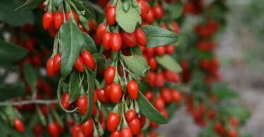 Ягода барбарис: полезные и лечебные свойства