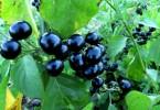 Санберри ягоды: полезные свойства