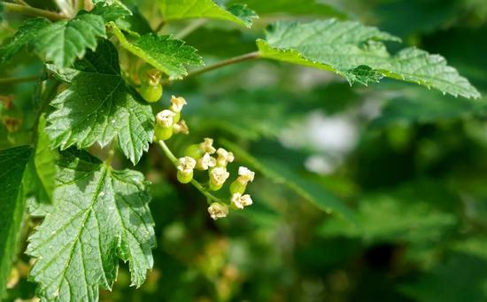 Состав и свойства зелени смородинового кустарника