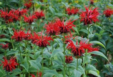 Полезные свойства травы бергамот
