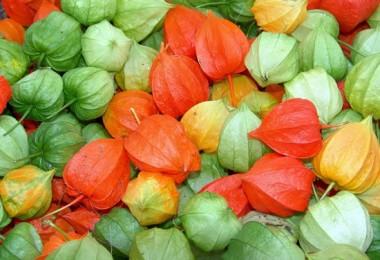 Овощной и земляничный физалис: полезные свойства, противопоказания