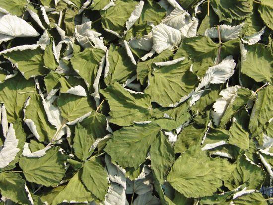 свойства листьев малины