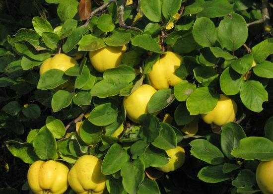 полезные свойства листьев айвы