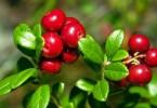Листья брусники: лечебные свойства и противопоказания