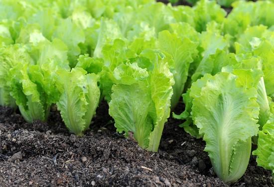 Салат латук: польза и вред