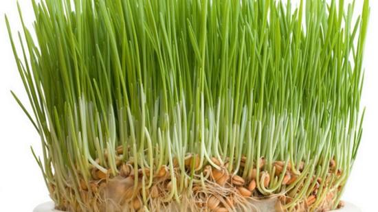 Как употреблять проросшую пшеницу?