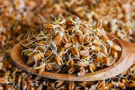 Проросшая пшеница: в чем польза и вред этого продукта?