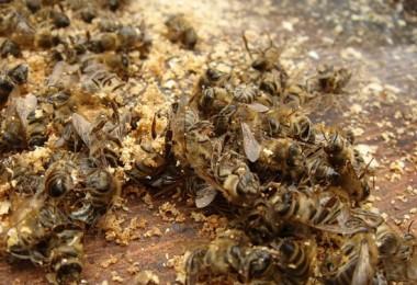 В чем польза и вред пчелиного подмора?