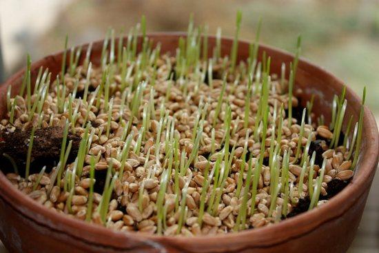Как прорастить пшеницу в домашних условиях?