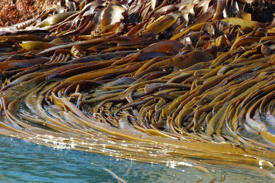 Морская капуста – лекарственное растение