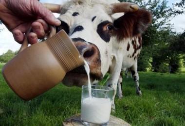 Вредно ли коровье молоко и чем ребенку, взрослым, пожилым людям?