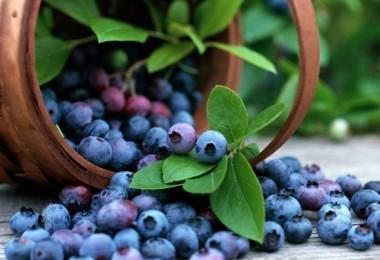 Черника: полезные свойства ягод и противопоказания